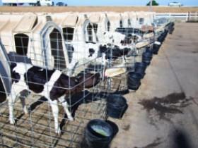 如何监测犊牛健康