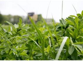 苜蓿与牧草混合种植