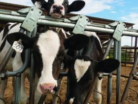 减少恐惧能够增加产奶量-1