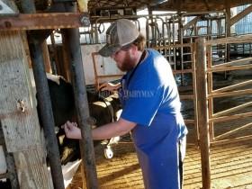 产后奶牛的灌服管理