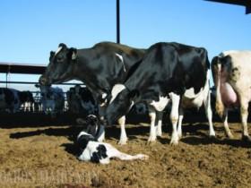 围产期奶牛的营养需要