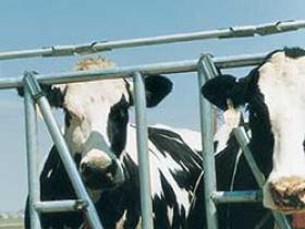 减少恐惧能够增加产奶量1