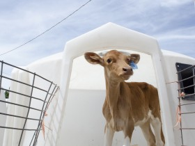 哺乳期犊牛饲喂稳定性