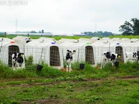 哺乳期后备牛成本分析