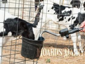 肠道发育预示着犊牛的生产性能