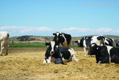 有关犊牛心脏相关疾病的诊断